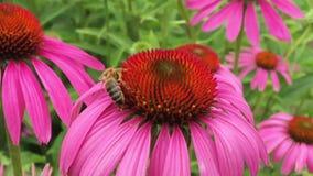 A abelha voada voa lentamente à planta, recolhe o néctar para o mel no apiário privado filme