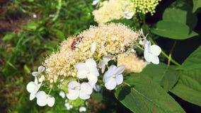 A abelha voada voa lentamente à planta, recolhe o néctar para o mel no apiário privado video estoque