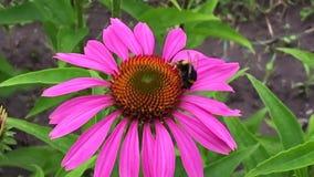 A abelha voada voa lentamente à planta, recolhe o néctar para o mel no apiário privado da flor vídeos de arquivo