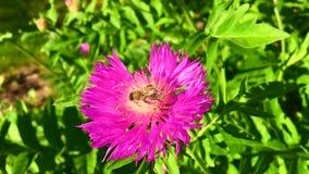 A abelha voada voa lentamente à planta, recolhe o néctar para o mel no apiário privado da flor video estoque