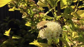 A abelha voada voa lentamente à planta, recolhe o néctar para o mel no apiário privado da flor filme