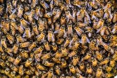 abelhas Imagens de Stock Royalty Free