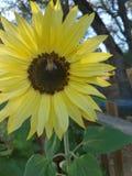 Abelhas de florescência fotos de stock