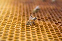 Abelhas do mel em um favo de mel dentro da colmeia Estrutura sextavada da cera com fundo do borrão Imagem de Stock
