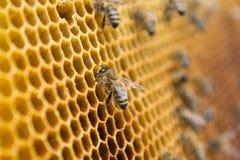 Abelhas do mel em um favo de mel dentro da colmeia Estrutura sextavada da cera com fundo do borrão Imagens de Stock