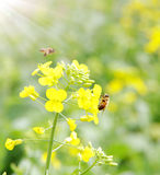 Abelhas e flor Fotografia de Stock Royalty Free