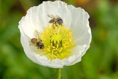 Abelhas e flor da papoila Fotografia de Stock Royalty Free