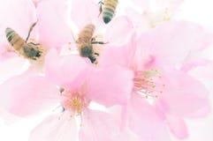 Abelhas e flores de cerejeira Foto de Stock Royalty Free