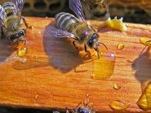Abelhas e néctar Imagens de Stock