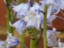 Abelhas e pólen fotografia de stock