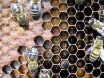 Abelhas e suas larvas. Fotos de Stock