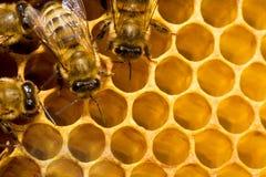 Abelhas em honeycells Imagens de Stock Royalty Free