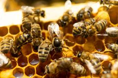 Abelhas em um favo de mel com mel As abelhas de trabalhador selam o favo de mel fotos de stock