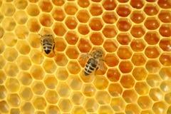 Abelhas em um favo de mel, dentro da colmeia fotografia de stock royalty free