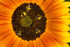 Abelhas em um girassol Fotos de Stock