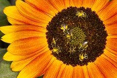 Abelhas em um girassol Foto de Stock Royalty Free