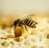 Abelhas em uma colmeia no favo de mel Fotografia de Stock