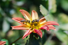 Abelhas em uma flor foto de stock royalty free