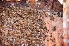Abelhas inoperantes do mel dos milhares. foto de stock royalty free