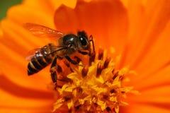 Abelhas na flor fotos de stock royalty free