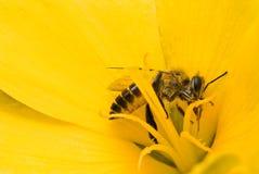 Abelhas na flor amarela fotografia de stock royalty free