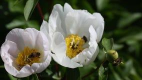 Abelhas na flor branca da peônia video estoque