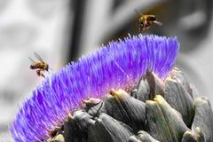 Abelhas na flor da alcachofra foto de stock