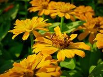 Abelhas na flor do cravo-de-defunto com foco seletivo fotos de stock