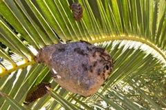 Abelhas na fronda da palma Imagens de Stock