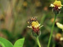 Abelhas na natureza e nas flores Foto de Stock Royalty Free