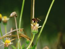Abelhas na natureza e nas flores Fotos de Stock Royalty Free