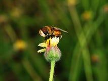 Abelhas na natureza e nas flores Imagem de Stock Royalty Free