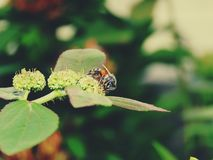 Abelhas na natureza e nas flores Imagens de Stock Royalty Free