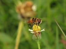 Abelhas na natureza e nas flores Fotografia de Stock