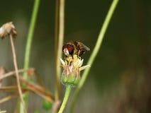 Abelhas na natureza e nas flores Fotografia de Stock Royalty Free
