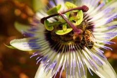 Abelhas nas flores do Passiflora Imagem de Stock