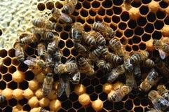 Abelhas no favo de mel Foto de Stock