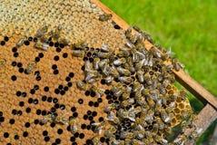 Abelhas no favo de mel 2 Fotos de Stock Royalty Free