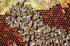 Abelhas no favo de mel Foto de Stock Royalty Free