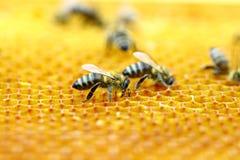 Abelhas no favo de mel imagens de stock