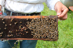 Abelhas no quadro de madeira do favo de mel Imagens de Stock Royalty Free