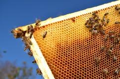 Abelhas no quadro do favo de mel na primavera Fotos de Stock Royalty Free