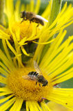 Abelhas no verão imagens de stock