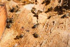 Abelhas ocupadas, fim acima da opinião as abelhas de trabalho Fotografia de Stock Royalty Free