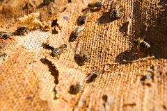 Abelhas ocupadas, fim acima da opinião as abelhas de trabalho Imagens de Stock Royalty Free