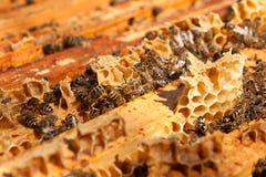 Abelhas ocupadas, fim acima da opinião as abelhas de trabalho no favo de mel Imagem de Stock