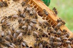 Abelhas ocupadas, fim acima da opinião as abelhas de trabalho no favo de mel Foto de Stock Royalty Free
