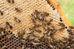 Abelhas ocupadas, fim acima da opinião as abelhas de trabalho no favo de mel Fotos de Stock Royalty Free