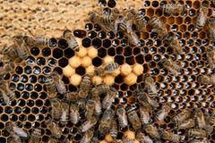 Abelhas ocupadas, fim acima da opinião as abelhas de trabalho no favo de mel Fotografia de Stock