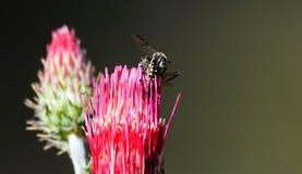 Abelhas que acoplam-se em uma flor cor-de-rosa quente foto de stock royalty free